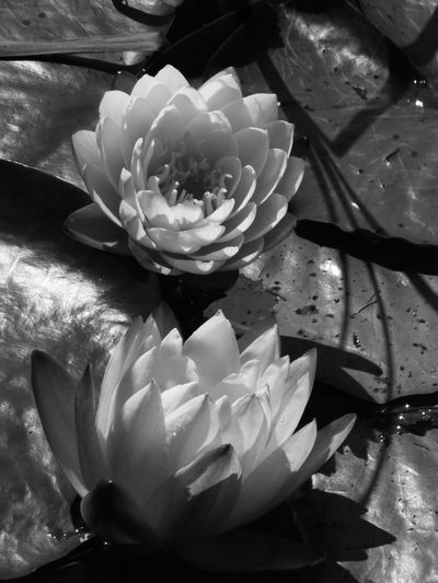 Water Lily Creative Light Light Reflections Creative Light And Shadow Flower Porn Creative Lines Shadow Lines Monochrome Blackandwhite Lily Pad