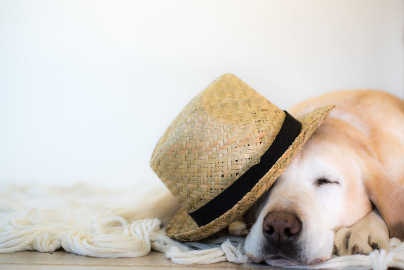 Asleep Dog Nose Hat High Key Labrador Labrador Retriever Sleeping Sleeping Dog Straw Hat Studio Shot White White Background Yellow Lab