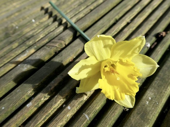 Daffodils in Spring EyeEm Selects Close-up Yellow Wood - Material Flowering Plant Nature Freshness Day Flower No People Inflorescence High Angle View Plant Outdoors Growth Petal Vulnerability  Beauty In Nature Fragility Flower Head