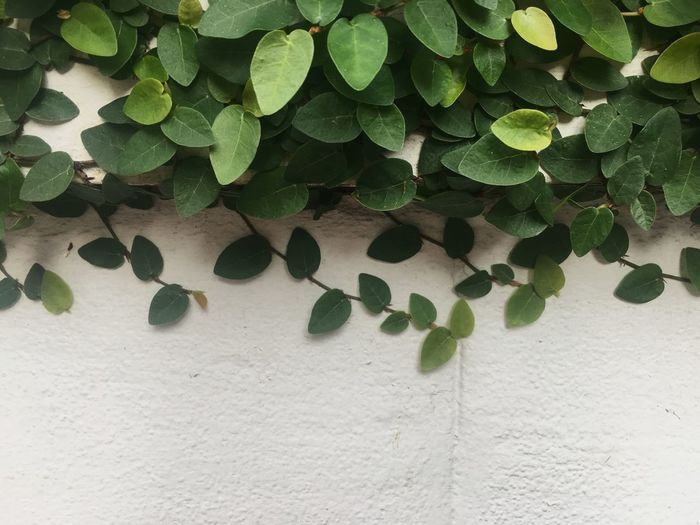 Climbing fig, ivy plant on the white concrete wall with copy space