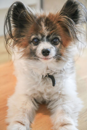 Animal Animal Hair Animal Themes Canine Close-up Cute Dog Dog Face Domestic Domestic Animals Hair Indoors  Lap Dog Looking Looking At Camera Mammal No People One Animal Papillon Pets Portrait Small Smiling Dog Smiling Face Vertebrate