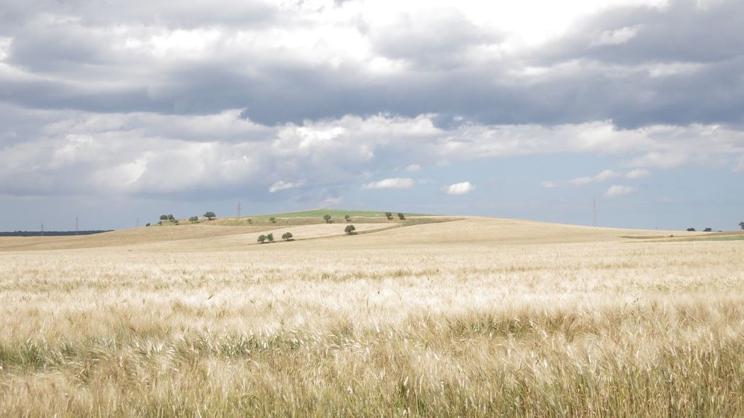 Basilicata, Italy  Countryside Yellow Corn Lands