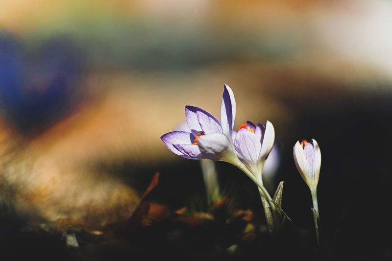 Flower Freshness Flowering Plant Petal Vulnerability  Plant Fragility Beauty In Nature Close-up Growth Flower Head Inflorescence No People Nature Focus On Foreground Selective Focus Field Iris Crocus Outdoors Purple