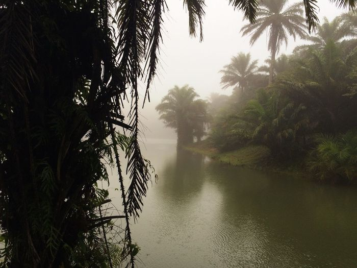 Foggy jungle Tree Plant Beauty In Nature Water Tranquility Tranquil Scene Palm Tree Scenics - Nature Nature Lake No People Fog Outdoors Idyllic Tropical Climate Non-urban Scene Land