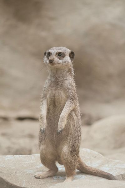 Have a problem-free weekend! Hakuna Matata Meerkat One Animal Animals In The Wild Animal Themes Animal Wildlife Sand Mammal Nature No People Outdoors Portrait Close-up Standing Animals Animal Photography Animal Portrait Animal_collection Cute Animals