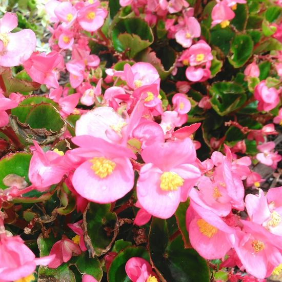 Flowers Pink Backgrounds Beauty In Nature