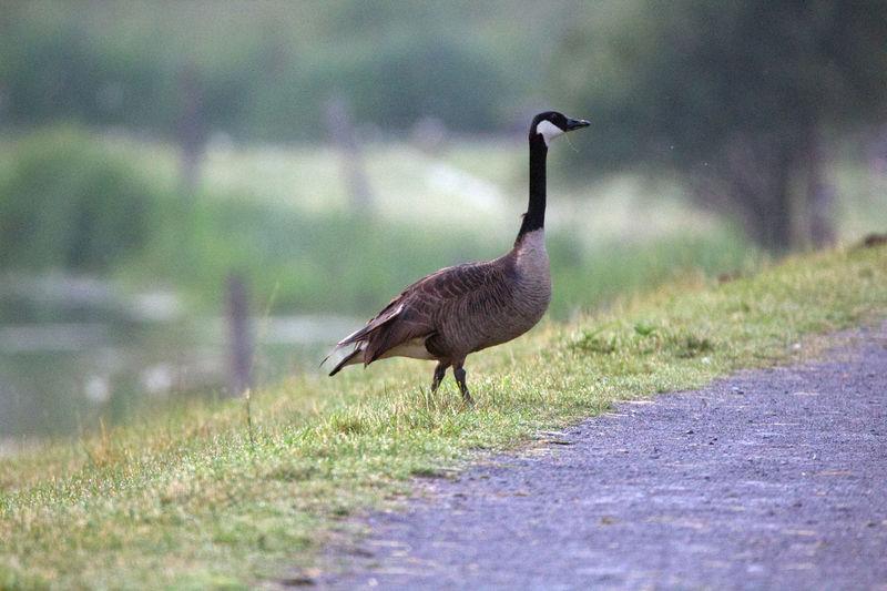 Bird walking in a field