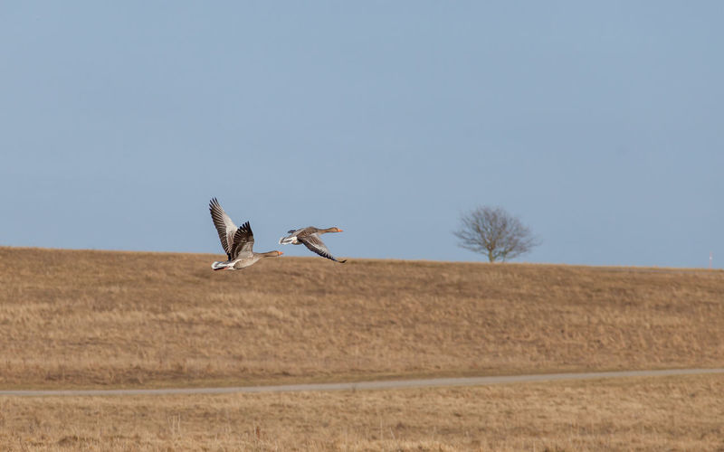 Goose flying over field against clear sky