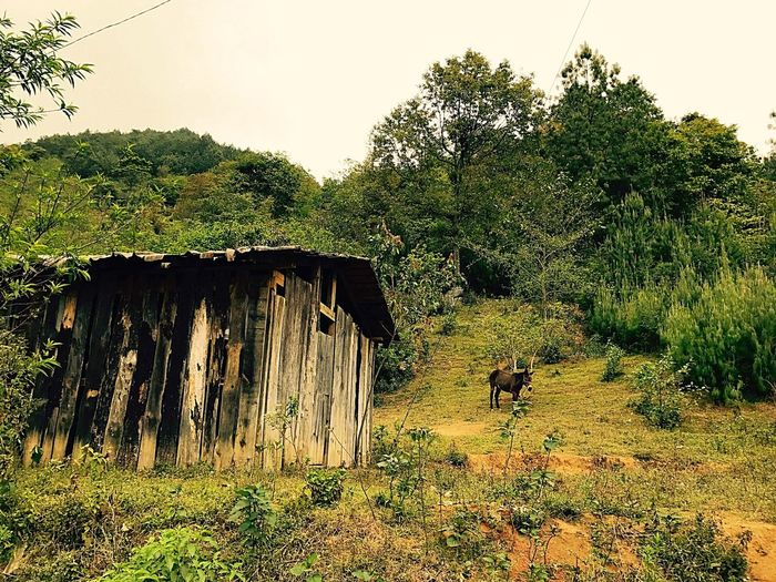 Landscape in Mexico Tree Domestic Animals Outdoors Mexico First Eyeem Photo Admiring Nature's Beauty Pure Air Donkey Wood House The Great Outdoors - 2017 EyeEm Awards Breathing Space Lost In The Landscape