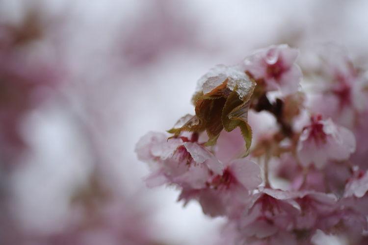 開花🌸からの雪⛄😅桜餅COLOR😋 Nature Nature Photography 貧乏マクロ Macro 桜 Flower Head Flower Pink Color Springtime Close-up Cherry Blossom Blossom Cherry Tree