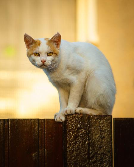 grumpy cat Pet