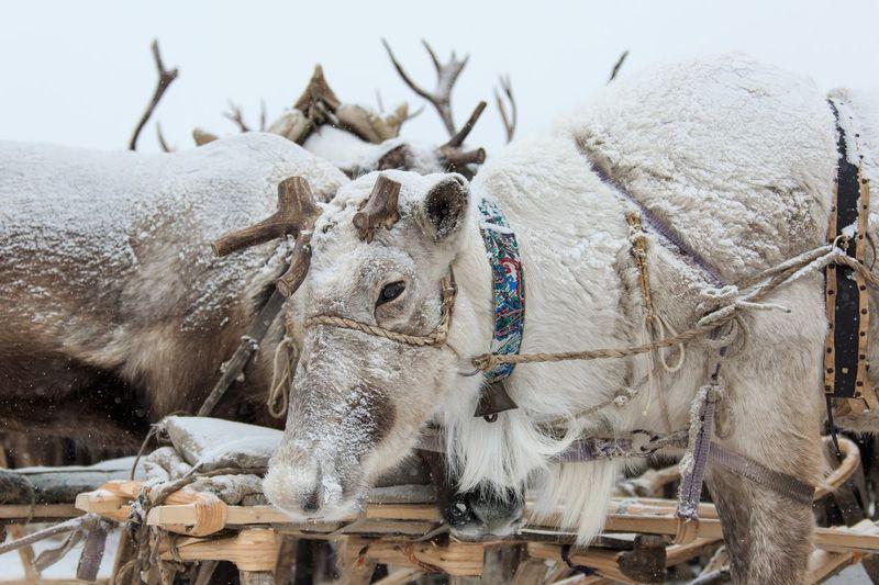 Reindeer Deer