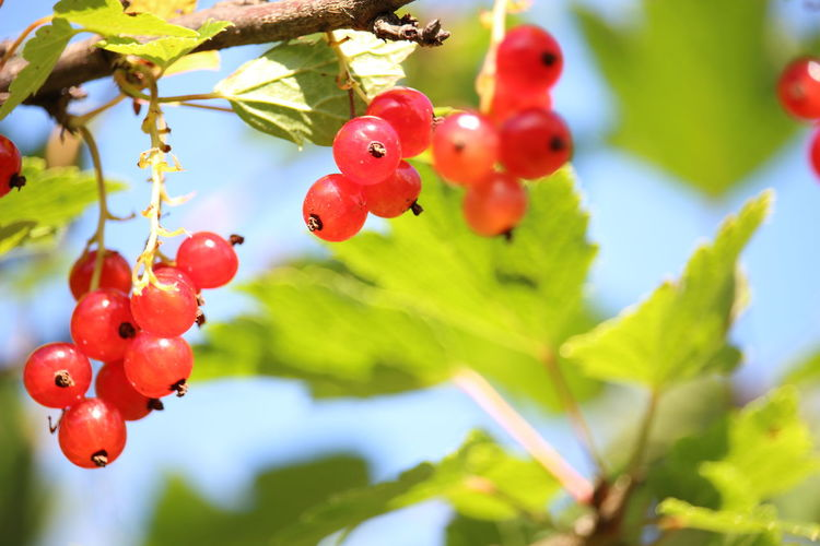 Redcurrant Beauty In Nature Branch Close-up Day Focus On Foreground Food Food And Drink Freshness Green Color Growth Leaf Nature No People Outdoors Red Sky Tree