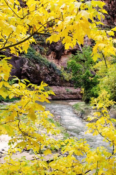 Fall Virgin River Zion National Park Utah Foliage Gold Fall Color River West