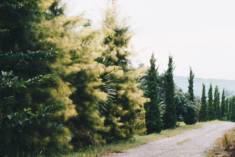 Pine trees by road in forest against sky
