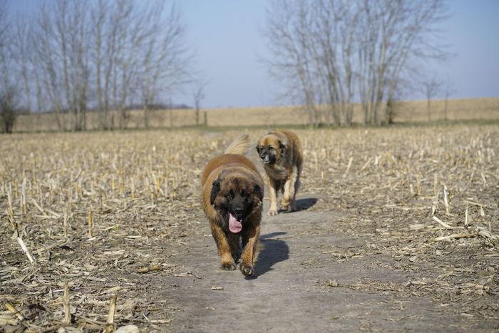 Feld Feldweg Leonberger Leonberger Hunde Dog Natur Außen Leonberger Dog Nature Photography Dog Dog❤ Hundefotografie Keine Leute No People