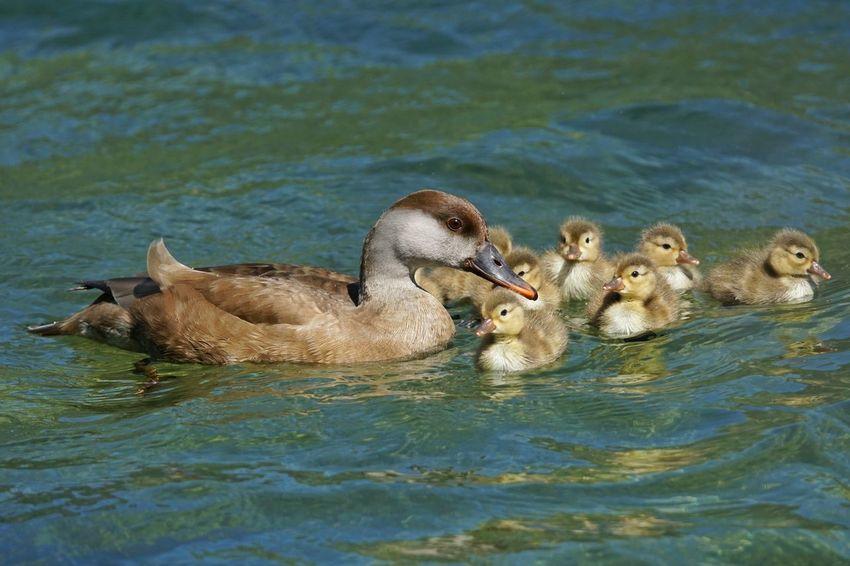 Fistione Turco Uccello Adda Fiume Fiume Adda Lago Di Garlate,italy Tamron 150 600 Natura Sony A6000 Italy🇮🇹 Italy❤️ Lago Di Como, Italy