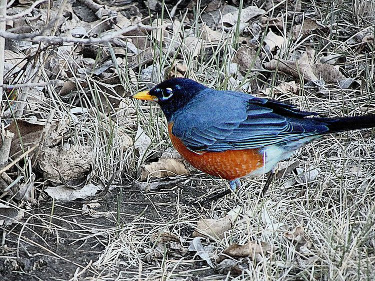 American Robin Animal Themes Animals In The Wild Bird Close-up Colorsplash Day Dry Feather  Field Grass High Angle View Leaf Natural Pattern Nature No People One Animal Outdoors Plant Water Wildlife Wyoming