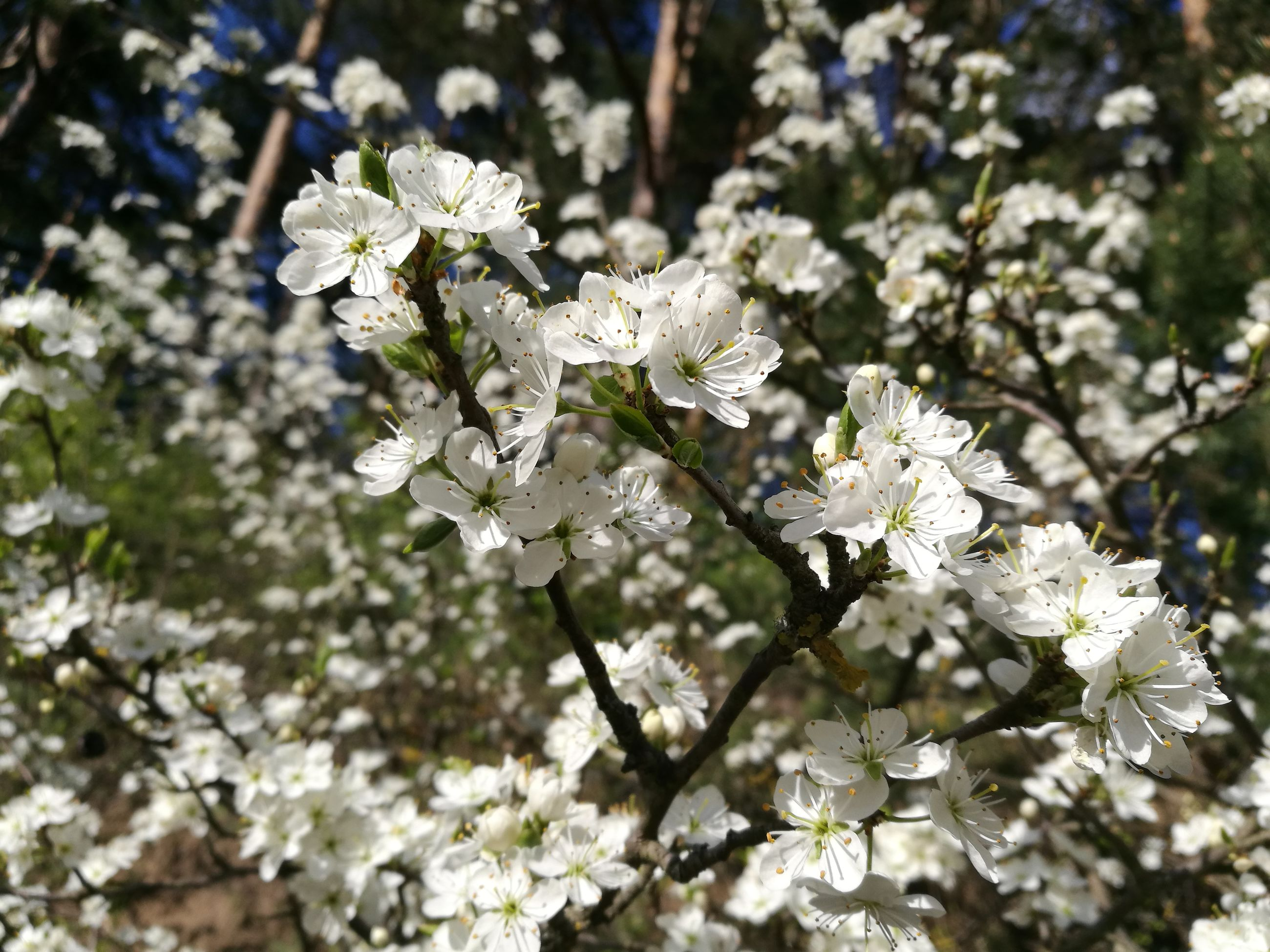 flower, white color, fragility, blossom, apple blossom, nature, growth, tree, botany, apple tree, beauty in nature, springtime, freshness, orchard, no people, branch, petal, day, close-up, flower head, outdoors, blooming
