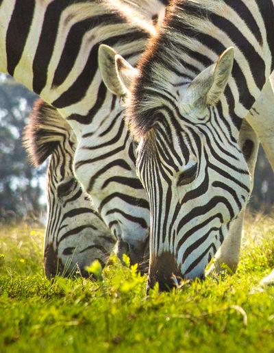 Animals Three Zebras Zebra Zebras Feeding