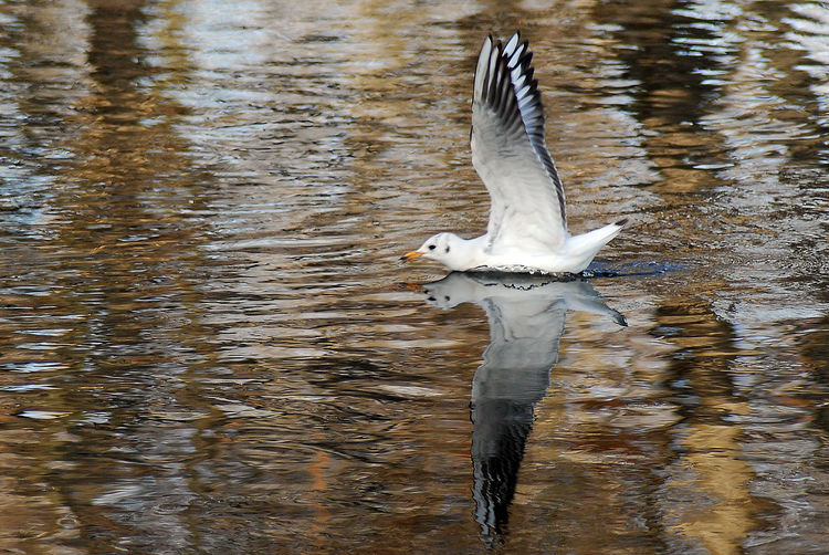 Seagull landing in lake