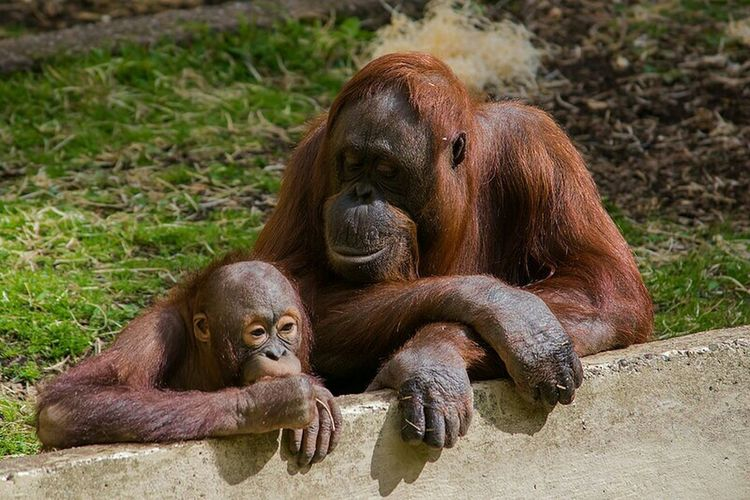 Orangutans Zoo