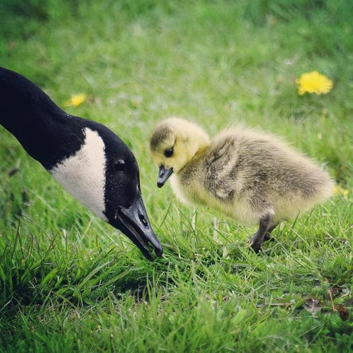 Close-Up Of Canada Goose With Cygnet On Grassy Field
