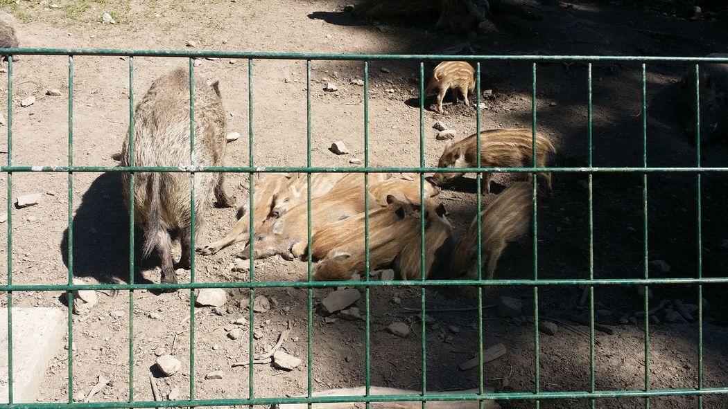 Wildschweine im Wildgehege Moritzburg Wildschwein Frischlinge Wildgehege EyeEm Selects Metal Grate