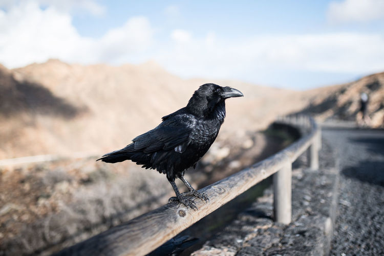 Crow on fence against arid landscape on fuerteventura