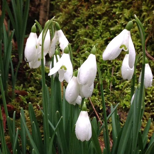 Beauty In Nature Blooming Close-up Flower Flower Head Focus On Foreground Fragility Freshness Gr Growth In Bloom January Nature Outdoors Plant Snowdrop Valley Snowdrops White White Color Winter