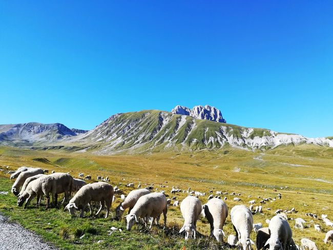 Flock of sheep at the foot of the gran sasso Prairie Corno Grande Browse Sheep Burn Arrosticini Abruzzo Italy Campo Imperatore National Park Of Abruzzo Grazing Land Grazing Animals Sheep Mountain Flock Of Sheep Grazing Rural Scene Group Of Animals Animal Themes Sky