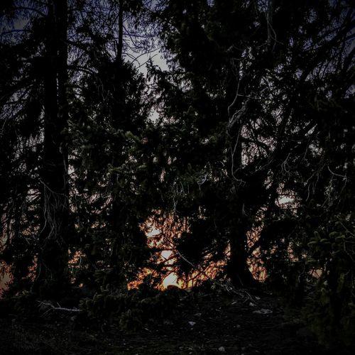 Woods. Sunset Night Tree Forest Branch Sky Woods Sunrays