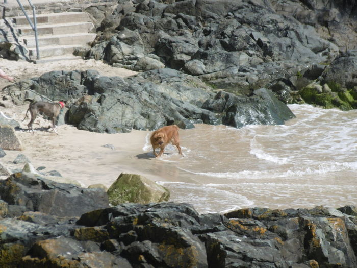 Two dogs playing on the seashore Dogs Golden Retriever Seashore Beach No People Outdoors Rocks Rocks & Sea Rocks On The Shore Sand & Sea Sea
