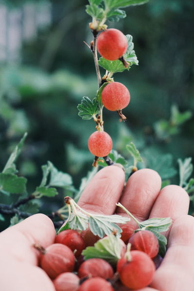 Gooseberry Gooseberry Gooseberries Focus On Foreground Food Food And Drink Freshness Fruit Growth Healthy Eating Holding Human Body Part Human Finger Human Hand Leaf Lifestyles Men Nature One Person Outdoors People Personal Perspective Real People Red Unrecognizable Person