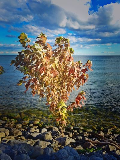Lone Sapling growing among the Rocks at the edge of Lake Ontario along the Port Union Village Waterfront Trail — Tree Camera+ IPhoneography Bloom Where You Are Planted