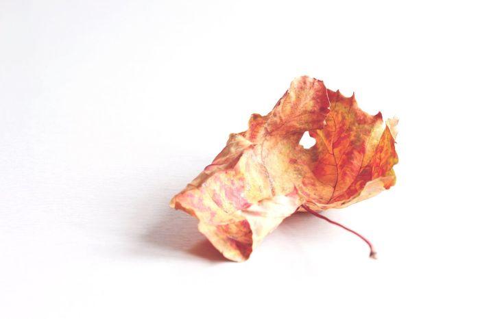 Autumn leaf Leaf Orange Wabi Sabi Autum Leaf Autumn EyeEm Selects Studio Shot Indoors  Still Life White Background Copy Space No People