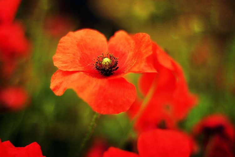 Rememberance day. Flower Petal Beauty In Nature Nature Blooming Growth Flower Head Plant Red Outdoors Close-up Day EyeEmNewHere EyeEm Nature Lover Remembrance