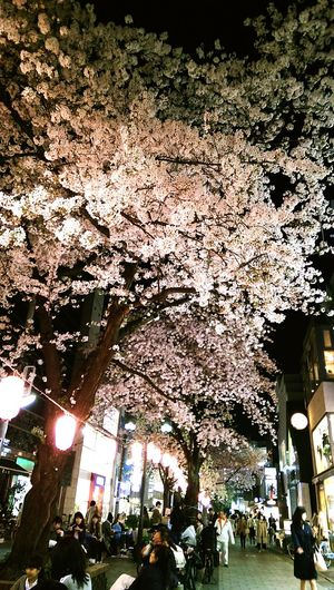 Walking Around Cherry Blossoms Sakura Sakura2015 Taking Photos