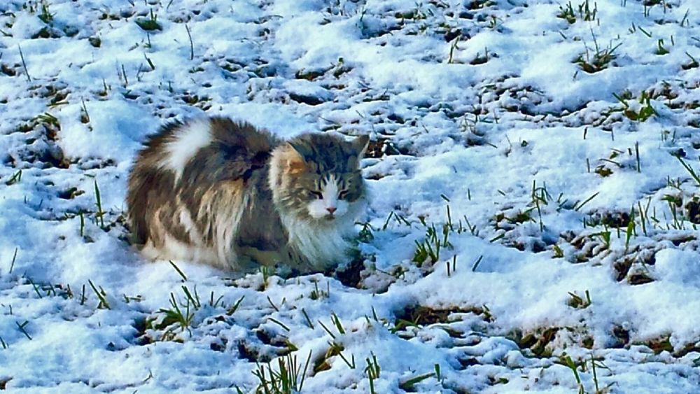 Snow Cat Cats Catsofinstagram Catoftheday Cat Lovers From My Point Of View Nature_collection