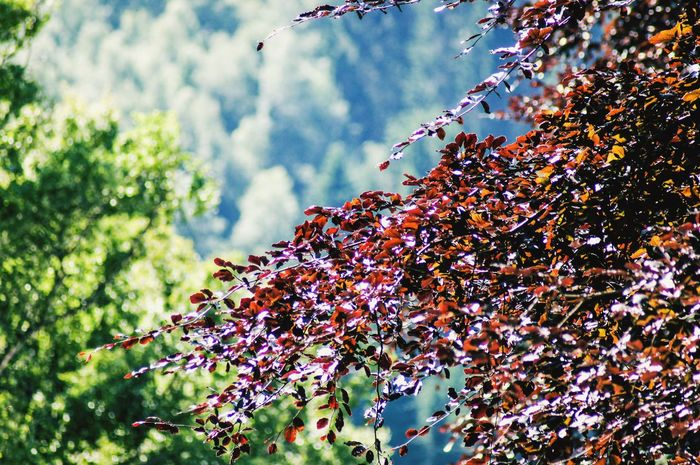 A majestic red leaved tree with the mountain forest as a background. Tranquil Scene Scenics - Nature Nature_collection EyeEm Best Shots Downward View Focus On Foreground Selective Focus Close-up High Angle View Mountain Forest Mountain Forest Silhouette Shadow Mountain Red Color Land Plant Tree Growth Nature Day Beauty In Nature No People Outdoors Leaf Branch Sunlight Freshness Tranquility