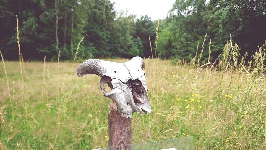 Skull Bone  Schädel Knochen Wiese  Meadow Düppel Zauber Zauberwald Nature Photography Taking Photos