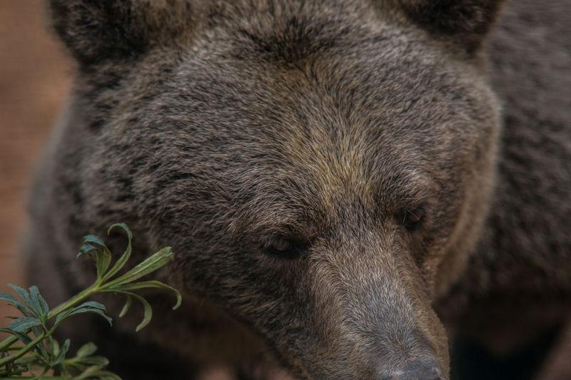 Marsican Brown Bear Animal Themes Animal Wildlife Animals In The Wild Brown Bear Close-up Day Eyes Italian Bear Mammal Marsican Bear Nature No People One Animal Orso Orso Marsicano Outdoors