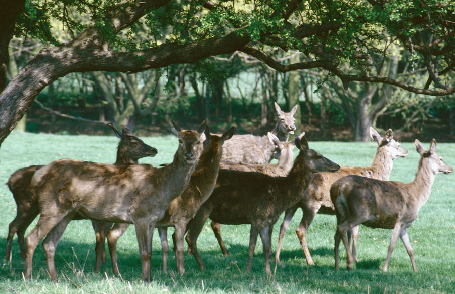Resting in the shade Group Of Deer Animal Themes Animal Wildlife Animals In The Wild Antler Day Deer Forest Grass Nature No People Outdoors Standing Tree
