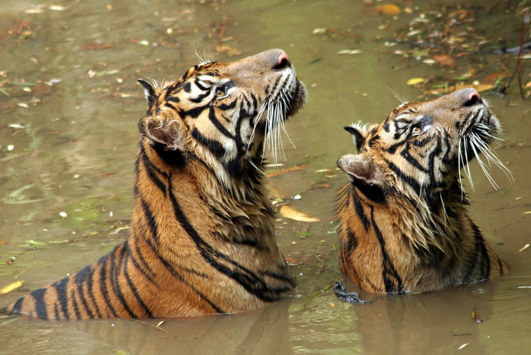 Close-up of tigers in water