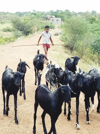 Adventure Dirt Road Casual Clothing Herbivorous Livestock Mammal Rural Scene Domestic Animals Person Walking Outdoors Rear View Wildlife Nature Close-up Place Pauparapatt Dharmapuri TN India