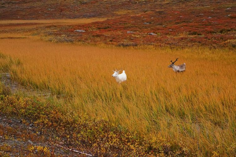 Beauty In Nature Color Contrast Fall Beauty Fall Colors Nature No People Non-urban Scene Norway Outdoors Reindeers Remote Tranquil Scene Tranquility White Reindeer Wilderness My Year My View