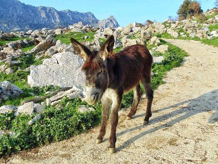 Mountain Llama