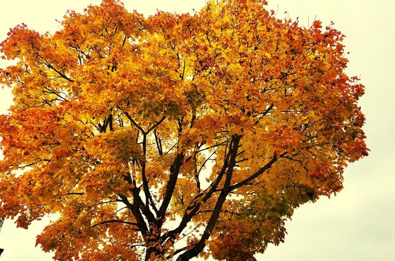 Herbst Automne Autumne Plant Tree Sky Beauty In Nature Nature Autumn Orange Color Yellow Plant Part Leaf