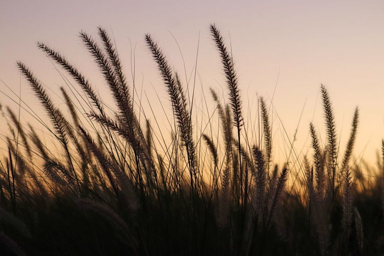 Close-up of stalks in field against sunset sky
