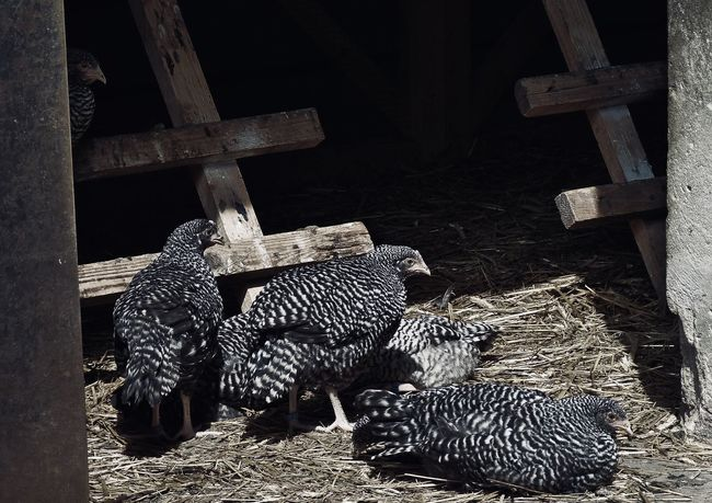 young hens in a open barn Agriculture Barn Barred Plymouth Rock Chicken Chicken Farm Young Animal Animal Family Animal Themes Countryside Free Range Group Of Animals Hay Hen High Angle View Light And Shadow Log Open Door Outdoors Sunshine Timber Wood - Material